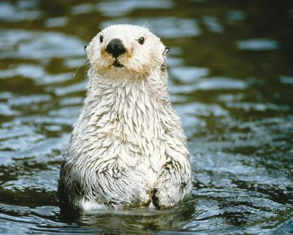 Photo by Jeff Foot, The Otter Project