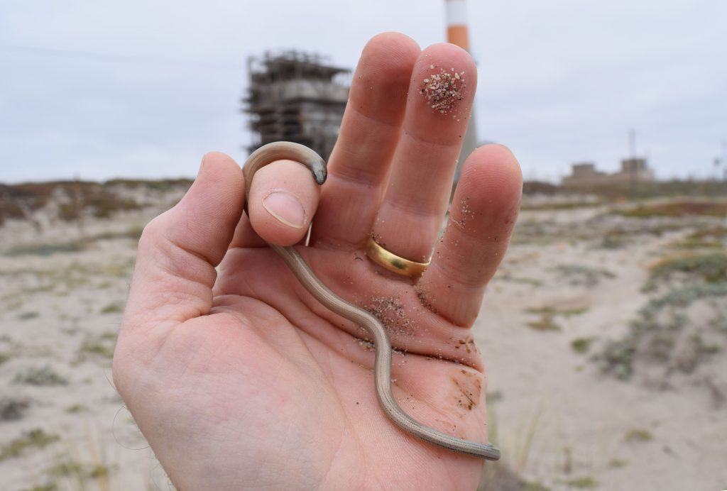 It's not a worm! A silvery legless lizard at the site of the proposed Puente Power Plant on Mandalay Beach in Oxnard.